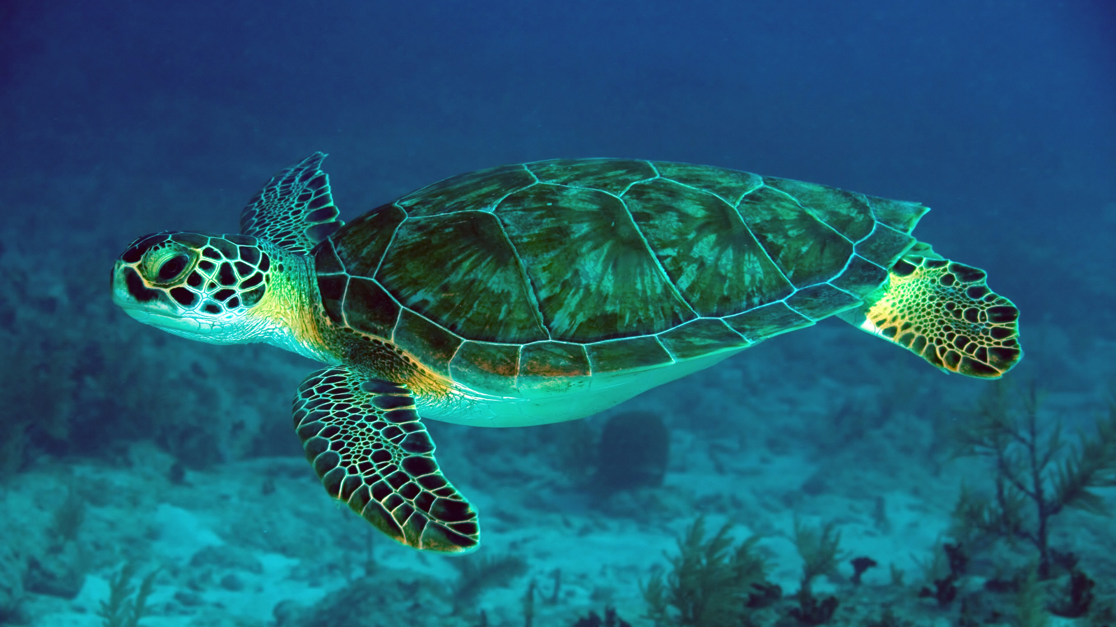 sea-turtle-desktop-background