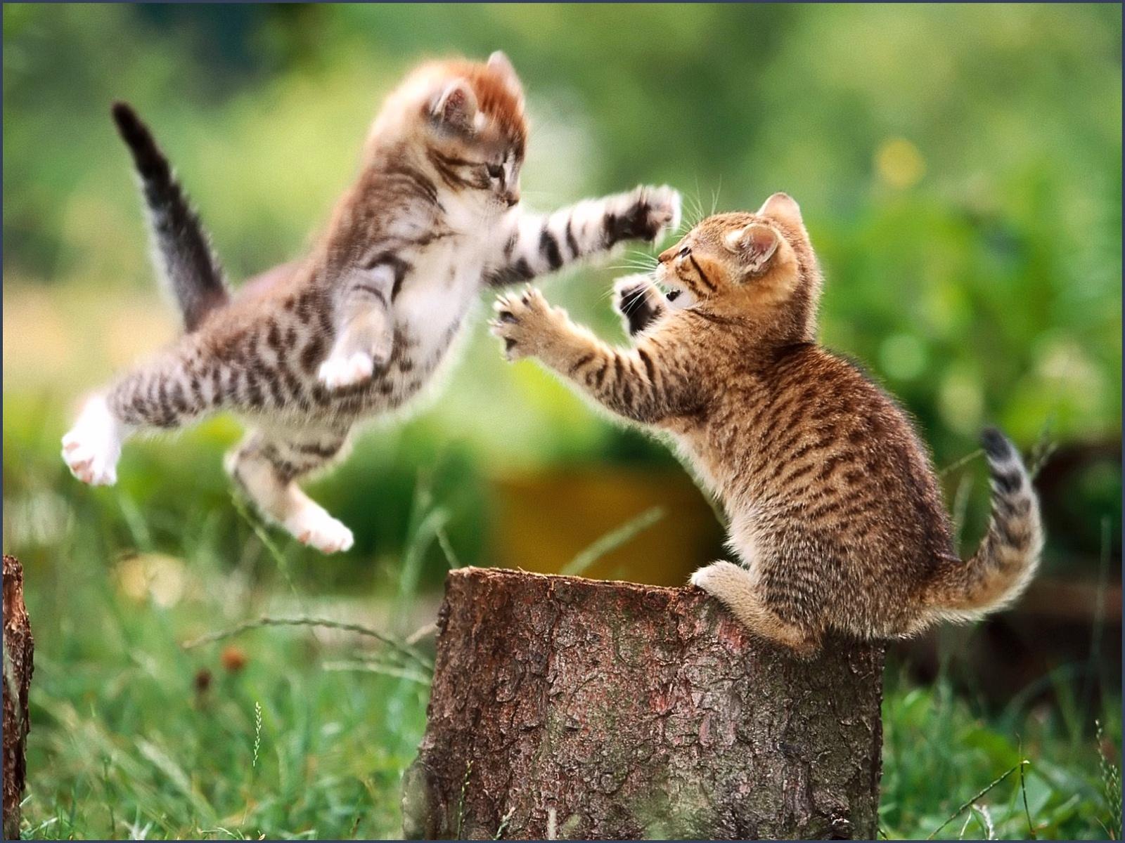 funny cat fight 11 desktop background